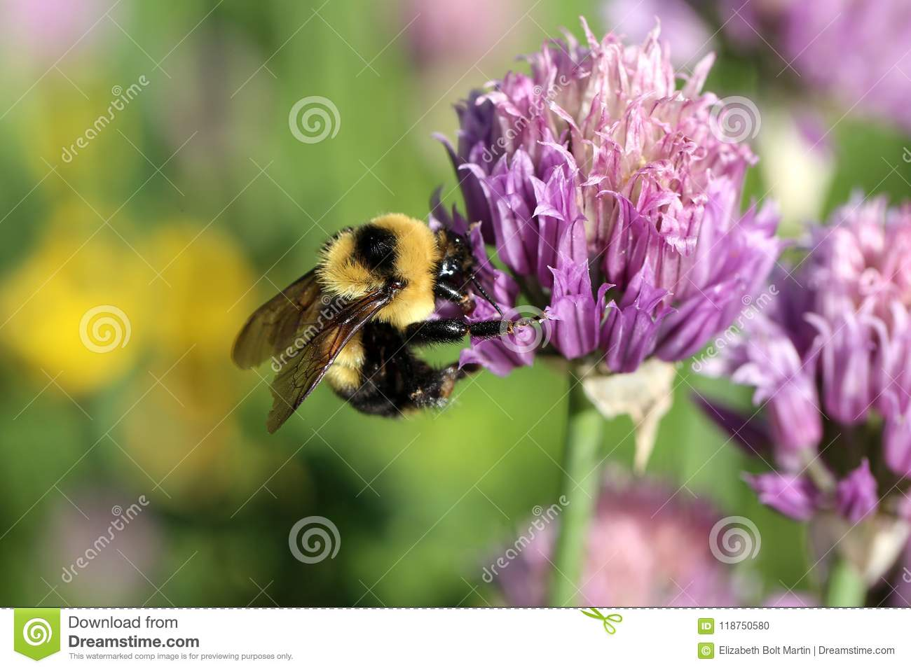 Bumblebee on wild purple flower stock photo image of fuzzy wings download bumblebee on wild purple flower stock photo image of fuzzy wings 118750580 mightylinksfo