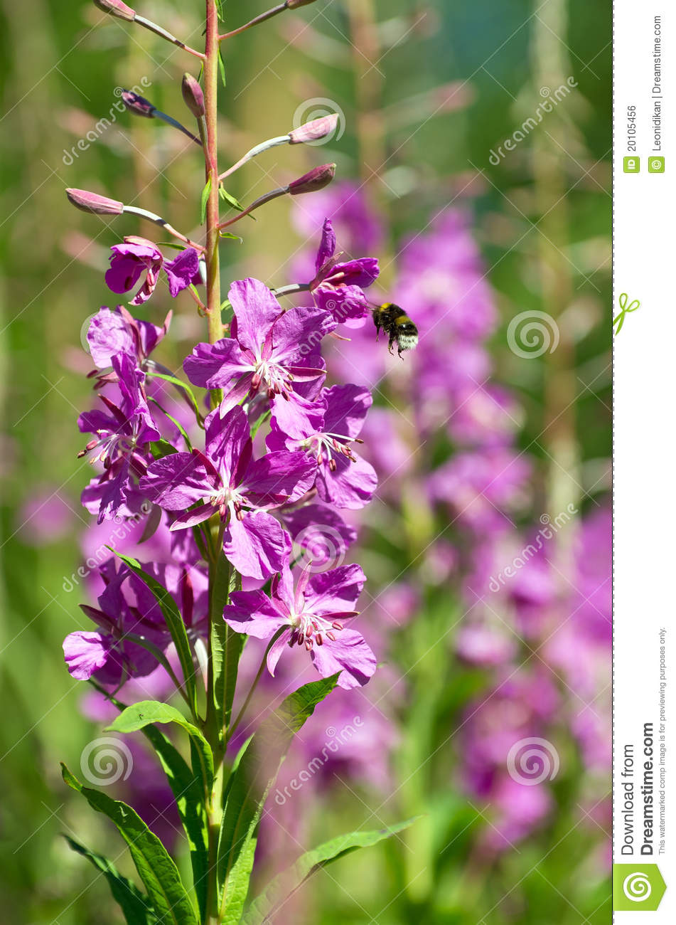 Bumblebee and willow-herb