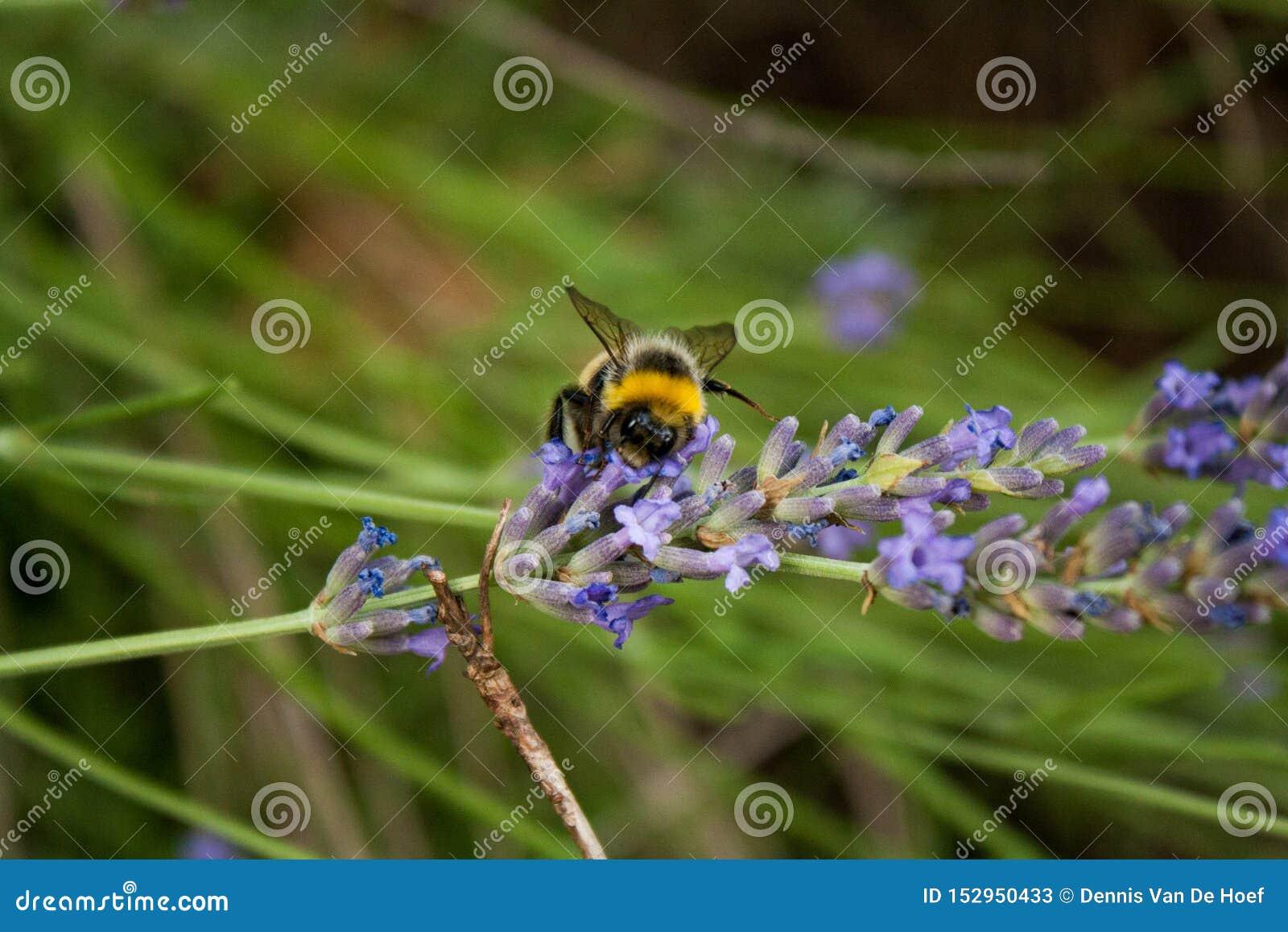 Bumblebee zbiera nektar od lawendowego kwiatu