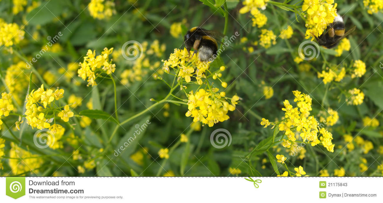 Bumblebees collected nectar in field flowers t