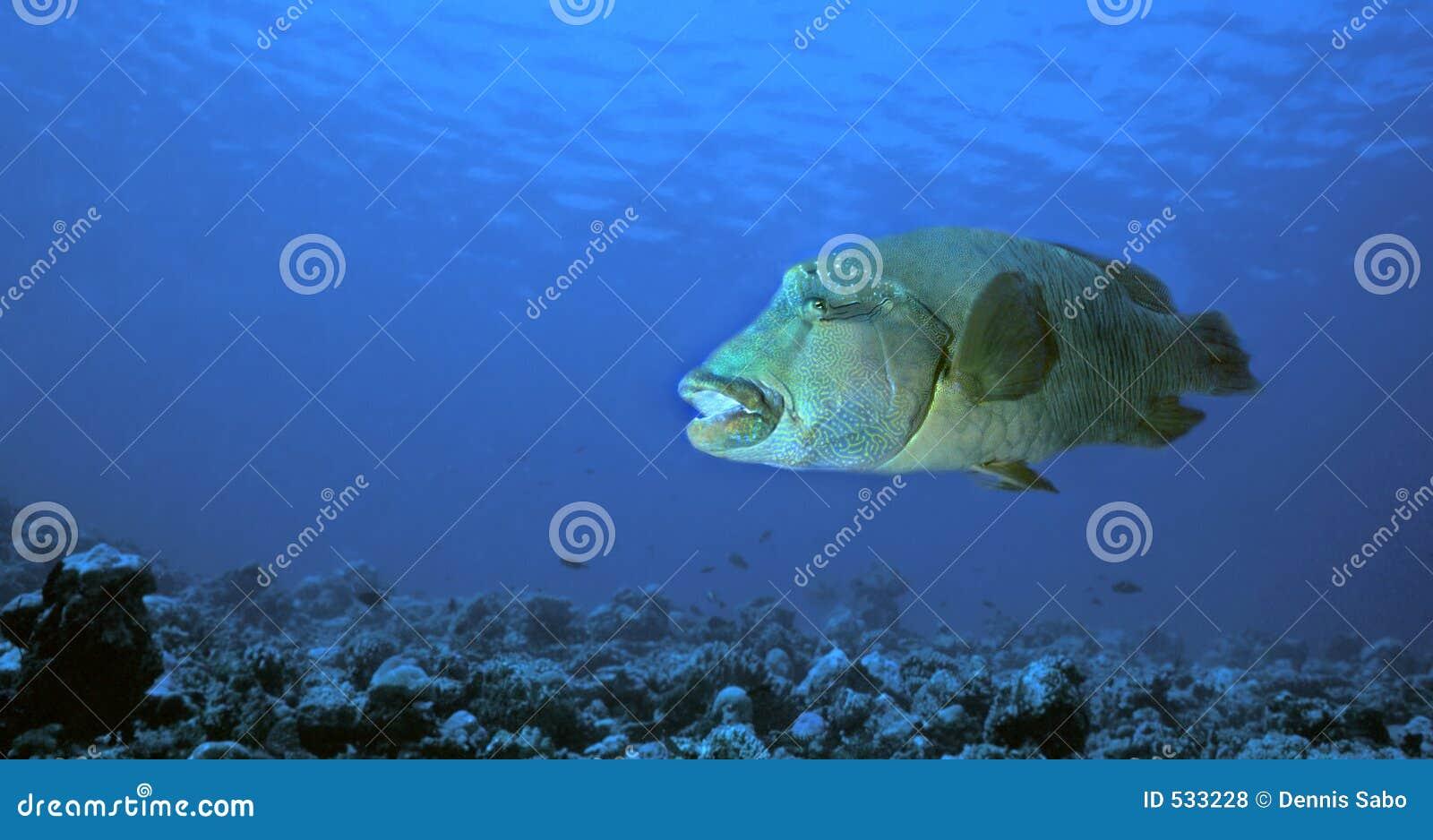 Download Bumphead濑鱼 库存照片. 图片 包括有 和平, 环礁, 礁石, 培训, 珊瑚, 隐喻, 学校, 水下 - 533228