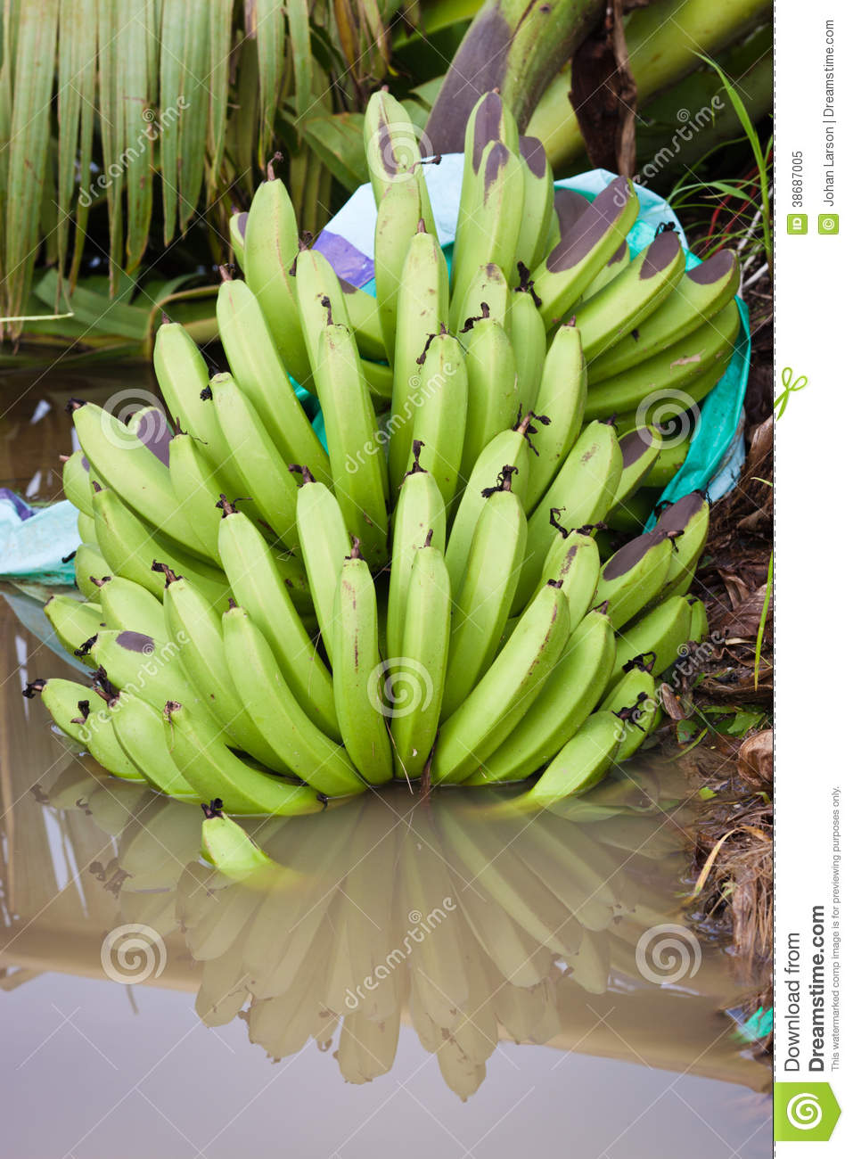 Bunch of banananas fallen to the ground