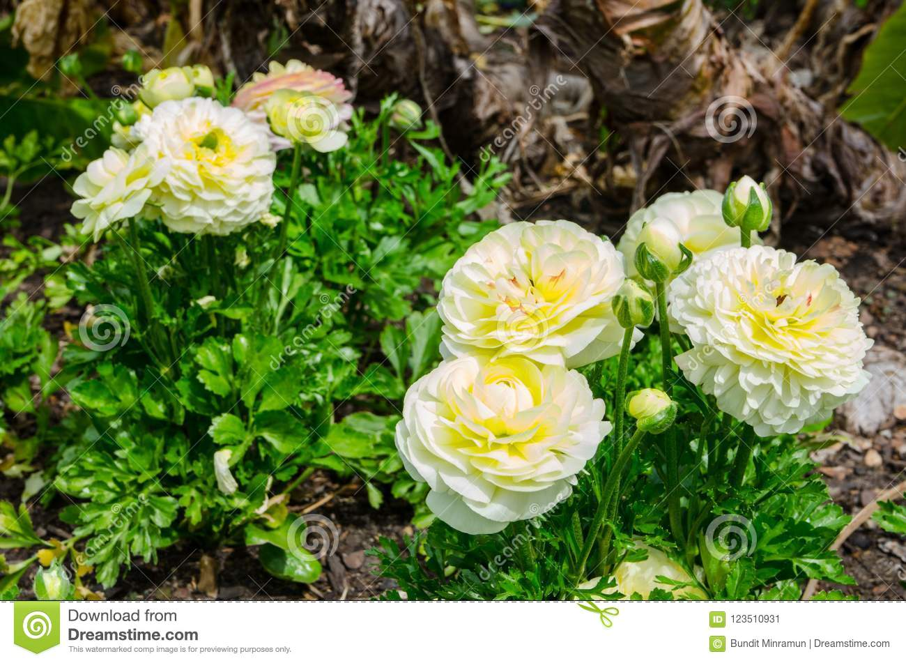 Bunch Of Beautiful Lovely Yellow And Cream Ranunculus Or Buttercup