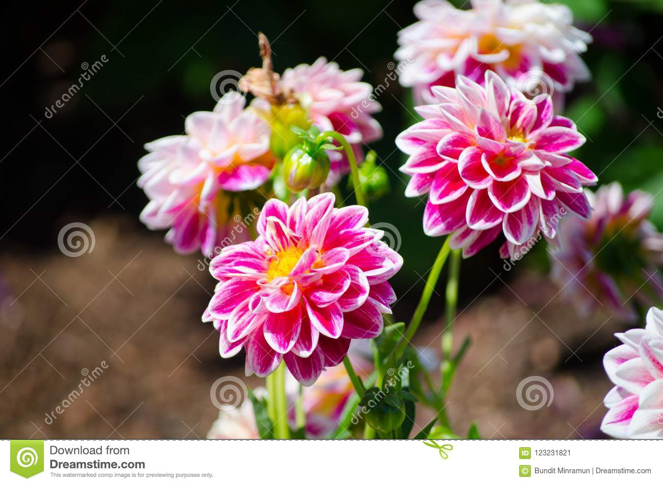 Bunch Of Beautiful Pink Dahlia Flower In A Spring Season At A