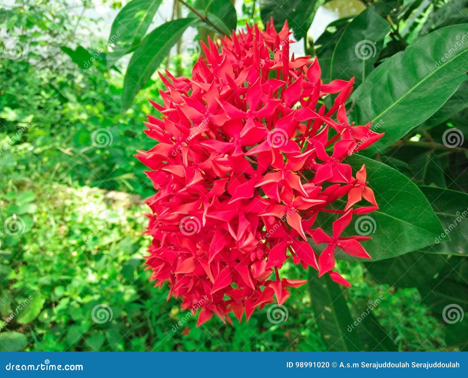 Bunch of beautiful red ixora flowers stock photo image of flowe download bunch of beautiful red ixora flowers stock photo image of flowe ixora izmirmasajfo