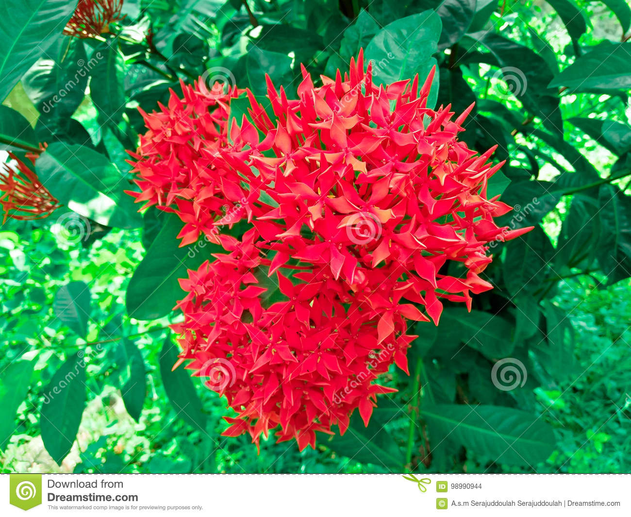 Bunch of beautiful red ixora flowers stock photo image of bunch of beautiful red ixora flowers stock photo image of beautiful nice 98990944 izmirmasajfo