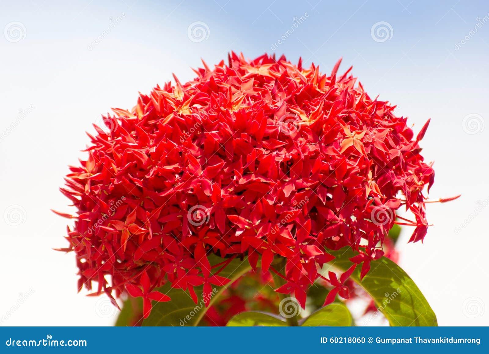 Bunch Of Beautiful Red Ixora Flowers Indian Jasmine Scientific