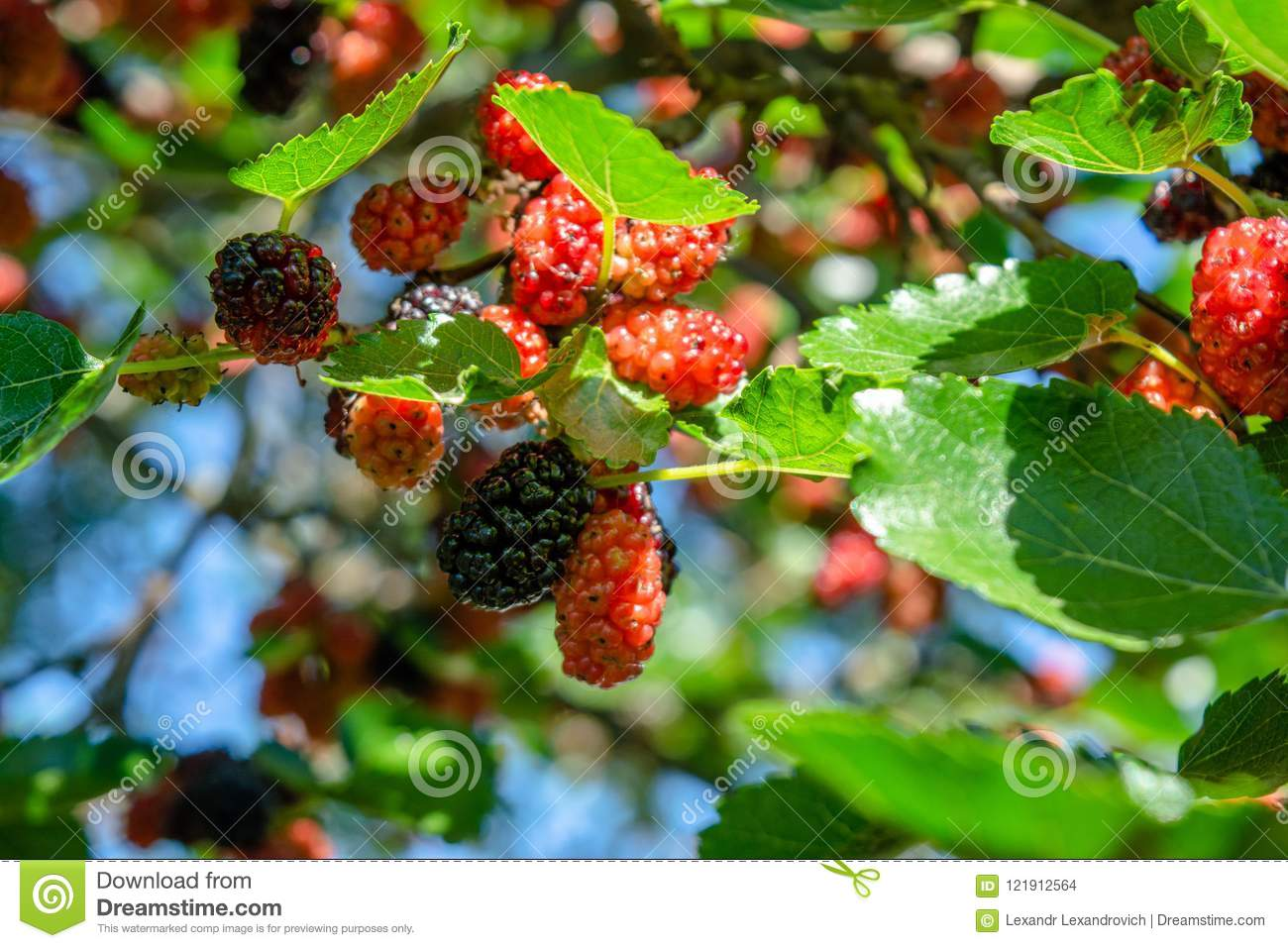 Pictures Of Red Mulberries