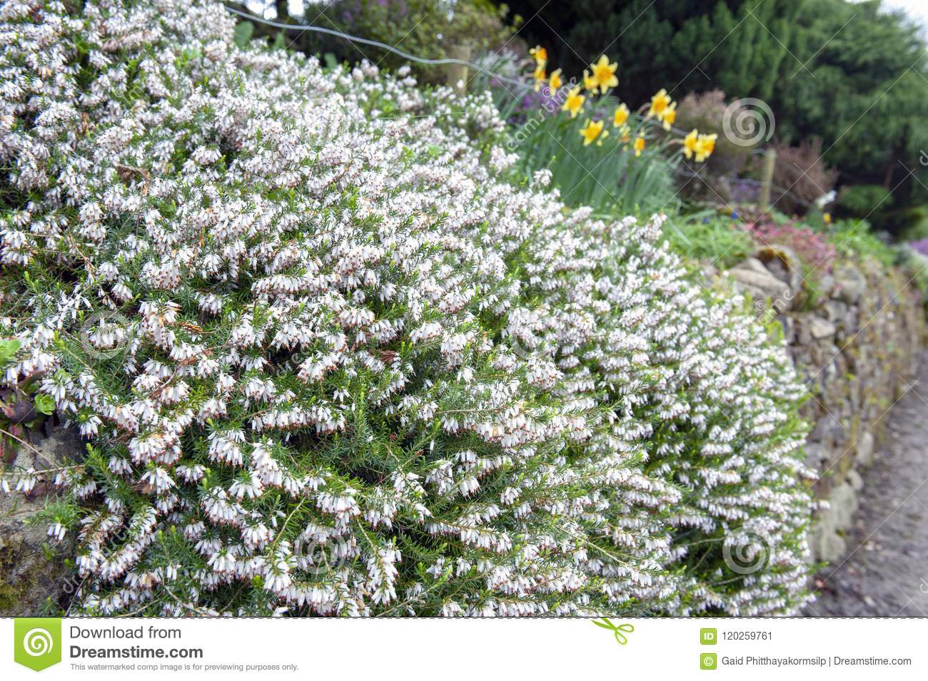 Erica Carnea Flowering Subshrub Plant Also Known As Springwood