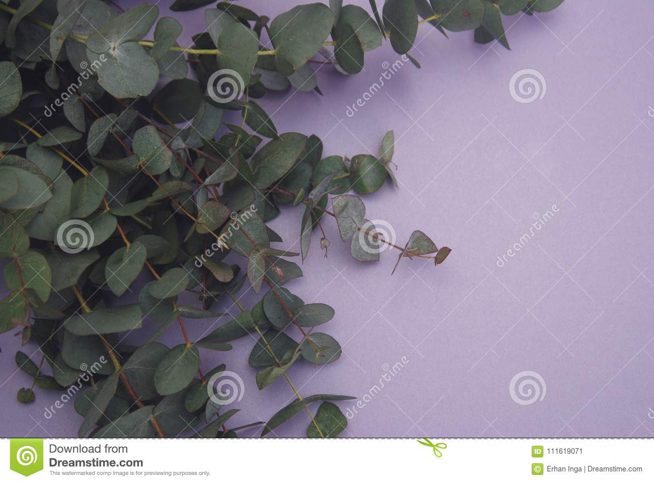Bunch of Eucaliptus leaves isolated on purple Background. Florist.