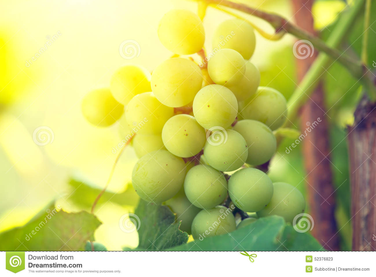 Bunch of grapes on grapevine