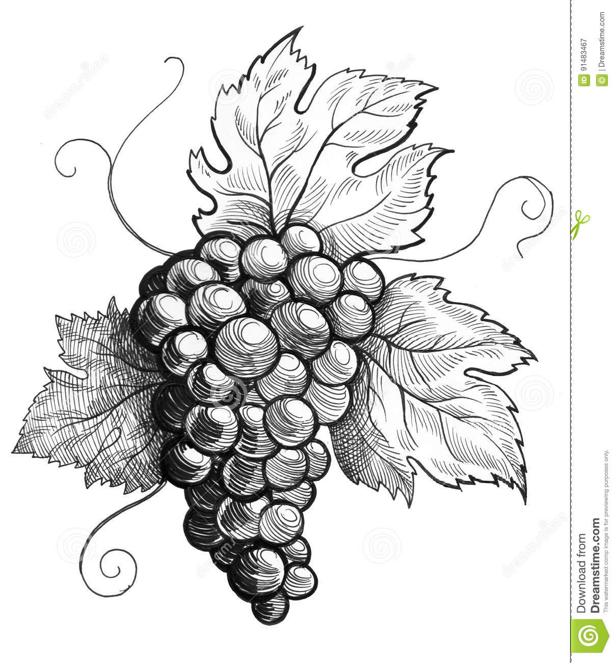 Bunch Of Grapes Stock Illustration Illustration Of Crop 91483467