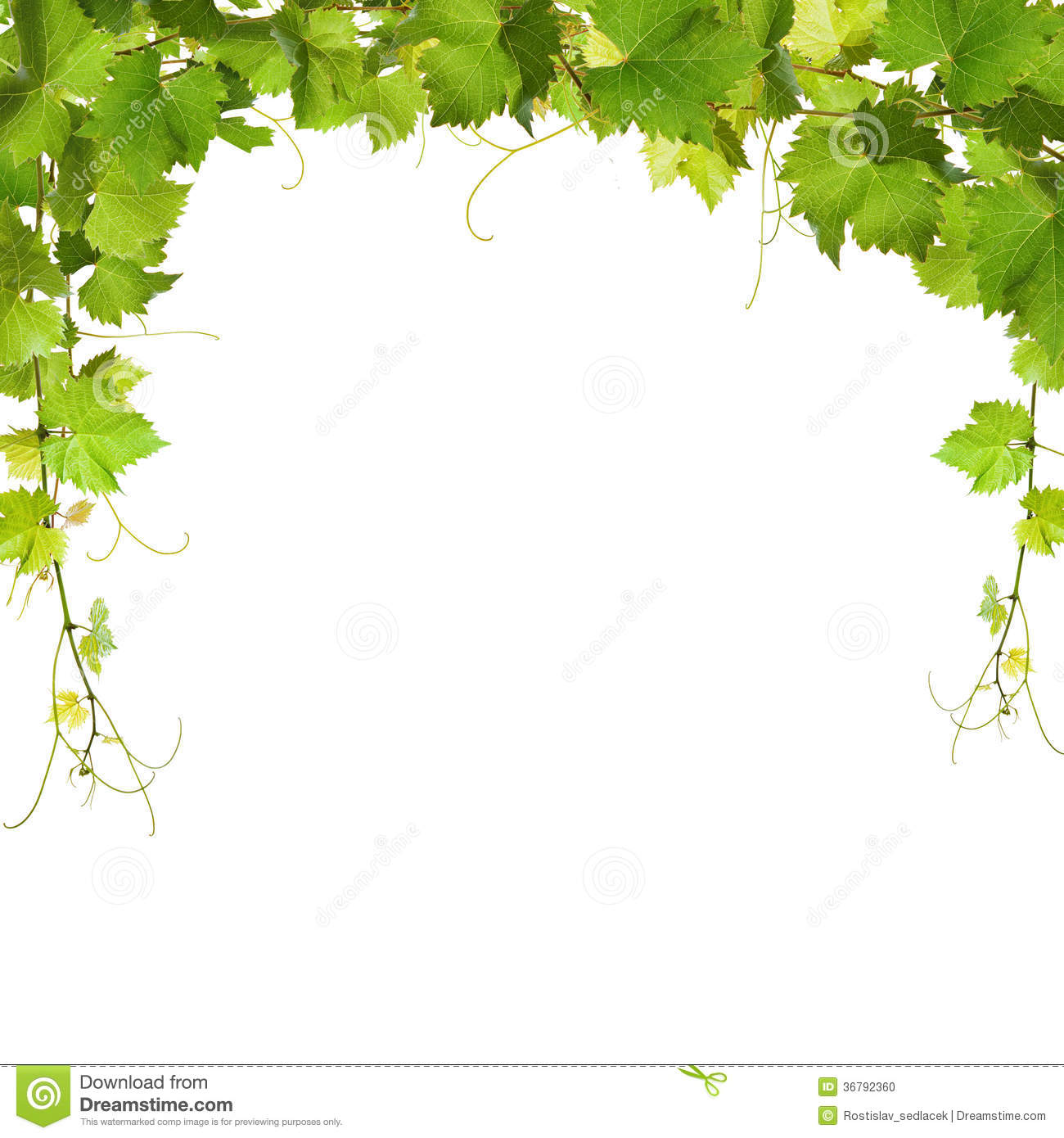 Bunch Of Green Vine Leaves And Grapes Stock Photo