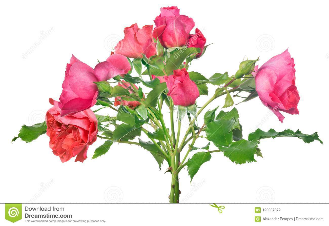 Bunch Of Isolated Pink Rose Flowers Stock Photo Image Of Isolated