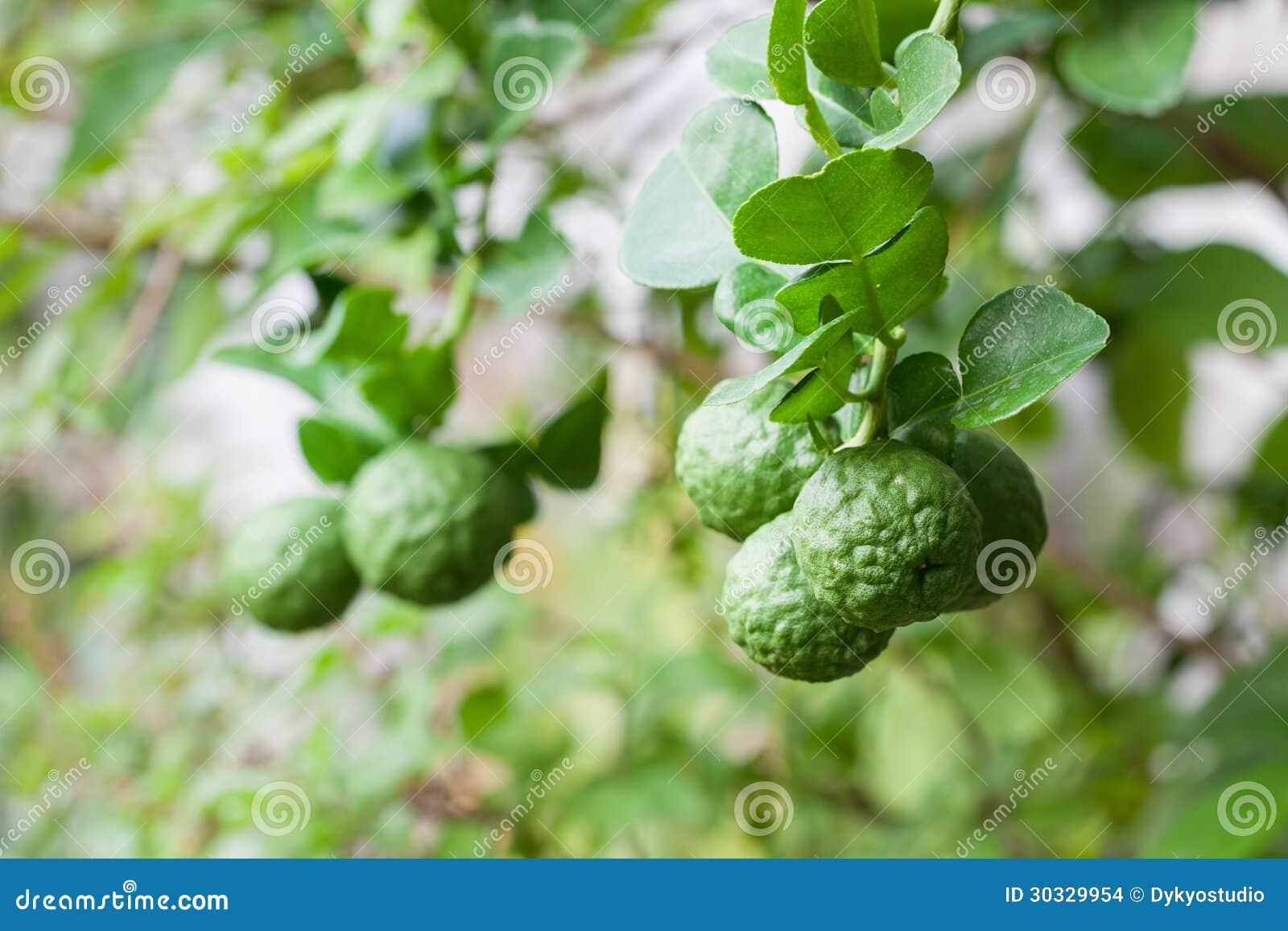 bunch of kaffir lime on bergamot tree stock images - Kaffir Lime Tree