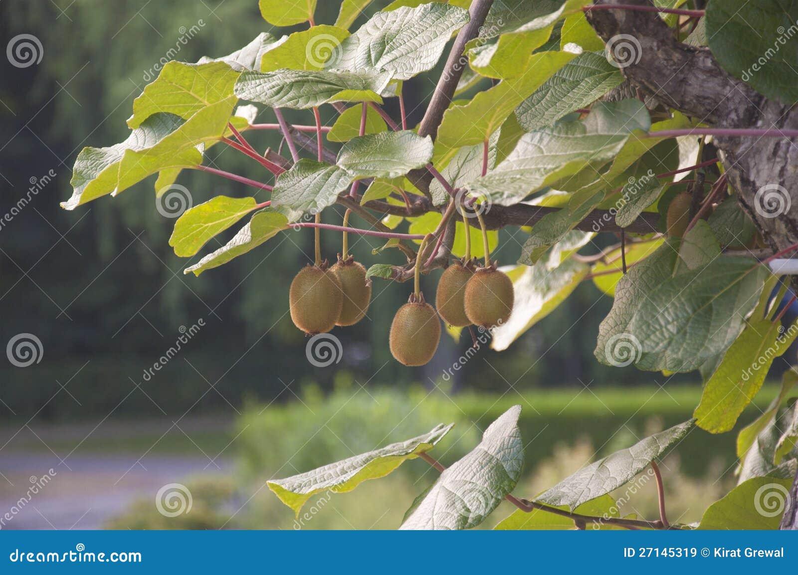 A bunch of kiwis ripening in a garden in Switzerland