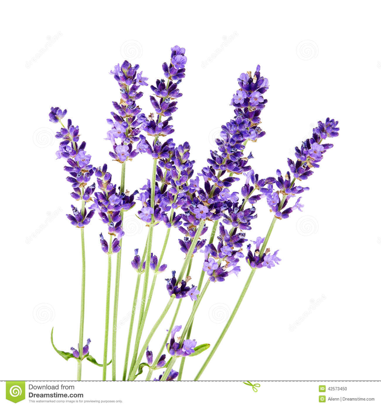 Purple Flower Clipart No Background: Bunch Of Lavender Flowers On White Background Stock Photo