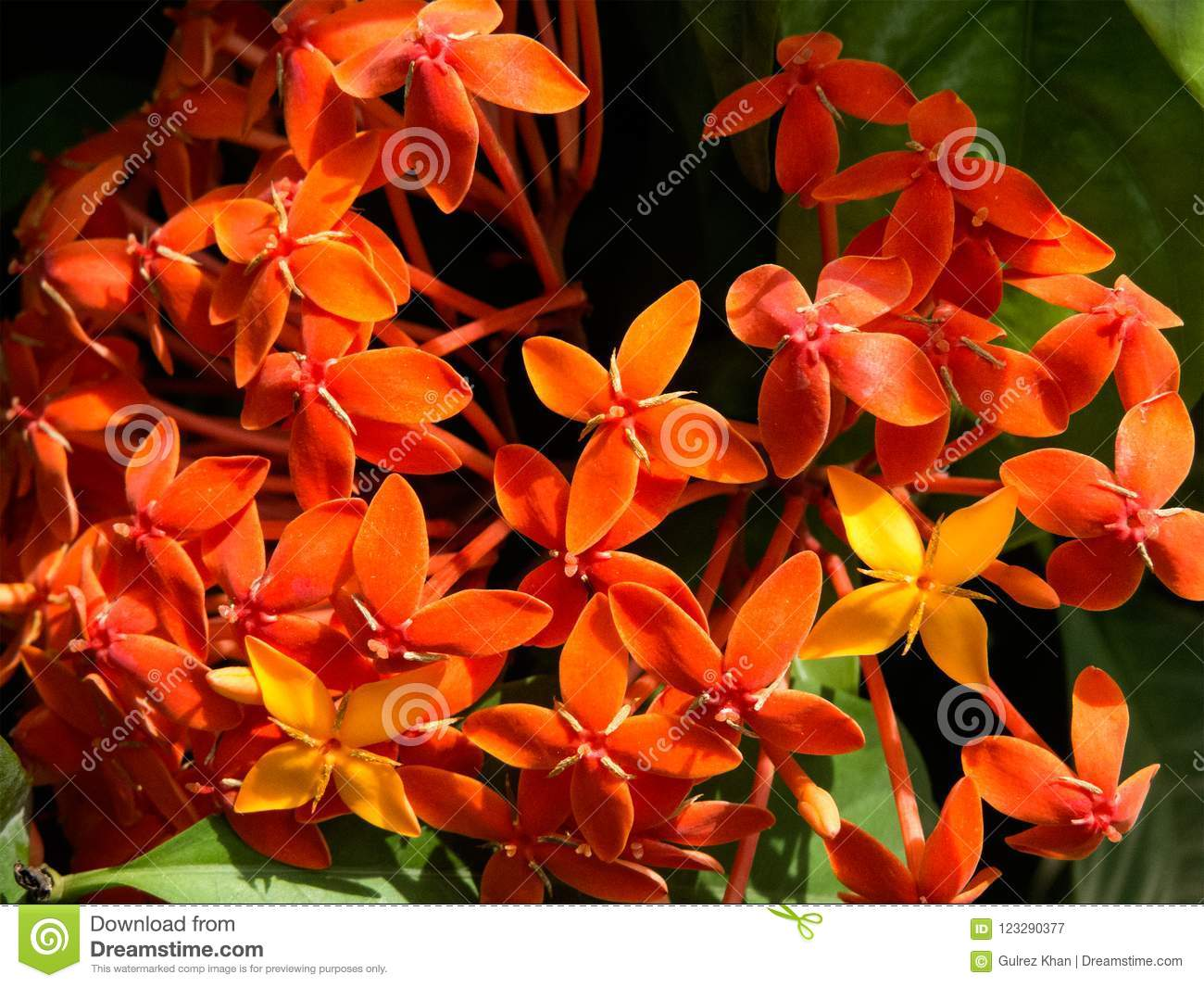 Bunch of Orange Ixora Flowers