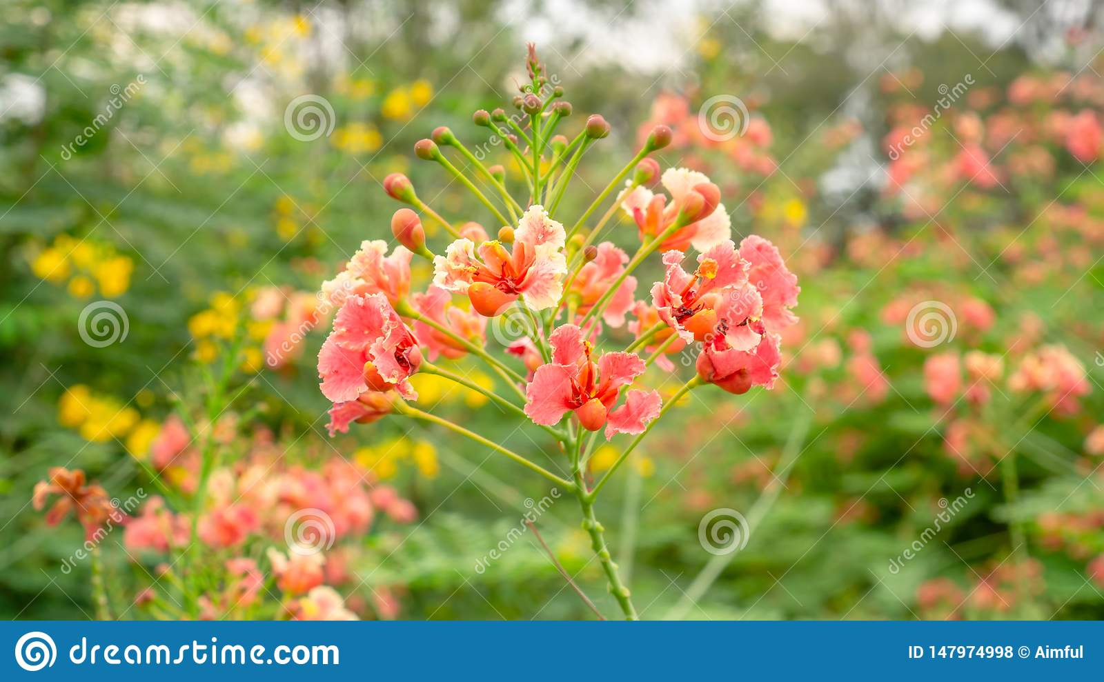 Bunch of orange petals Peacock`s crest know as Pride of barbados or Flower fecne blooming on green leaves blurred background in a