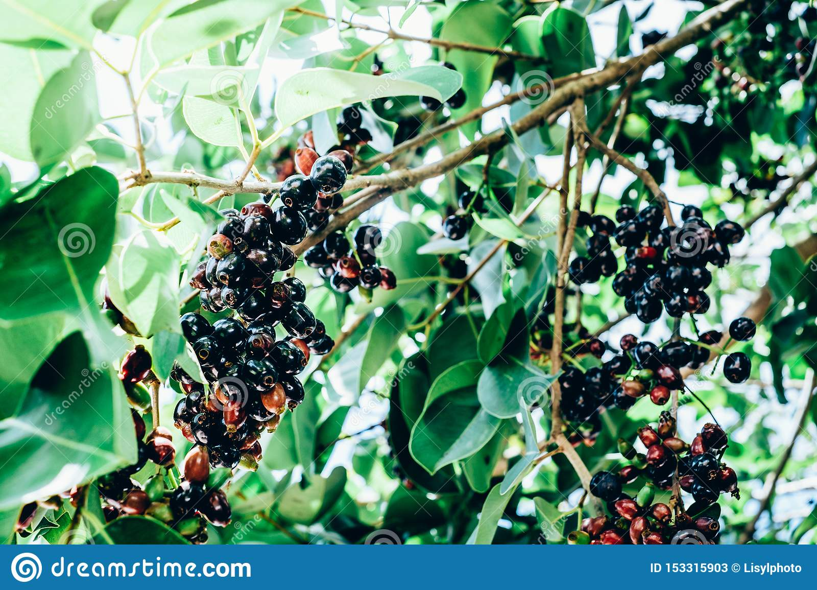 Bunch Of Organic Java Plum Fruits Also Known As Duhat Or Lomboy