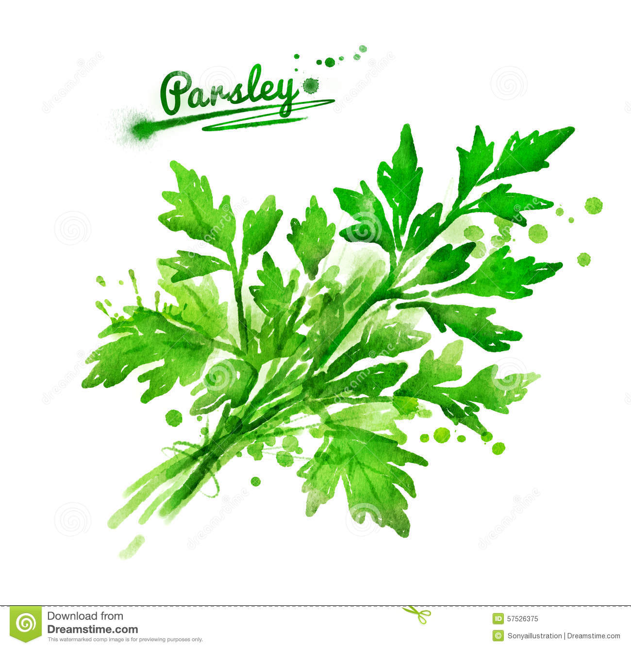Parsley Illustration Bunch Of Parsley Stock...