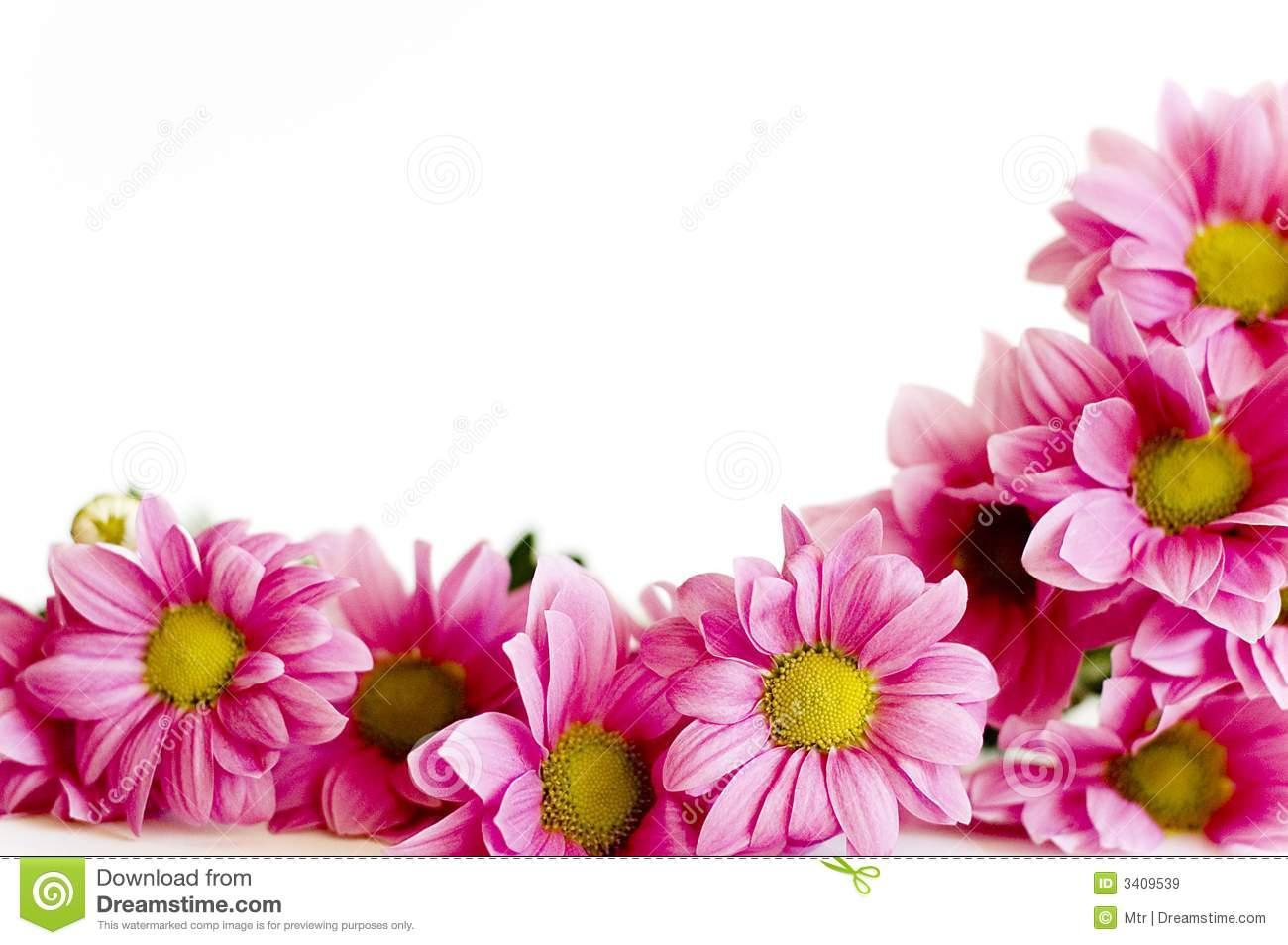 Pink Daisy Flowers Pink Daisy Flowers Preview White U Pink Daisy