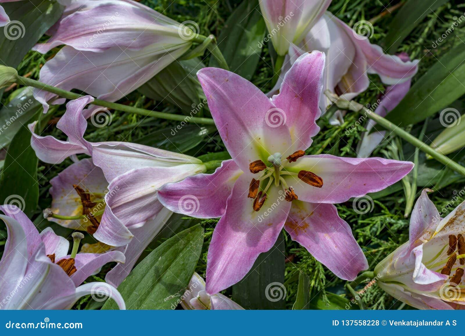 Bunch of Pink Stargazer Lily