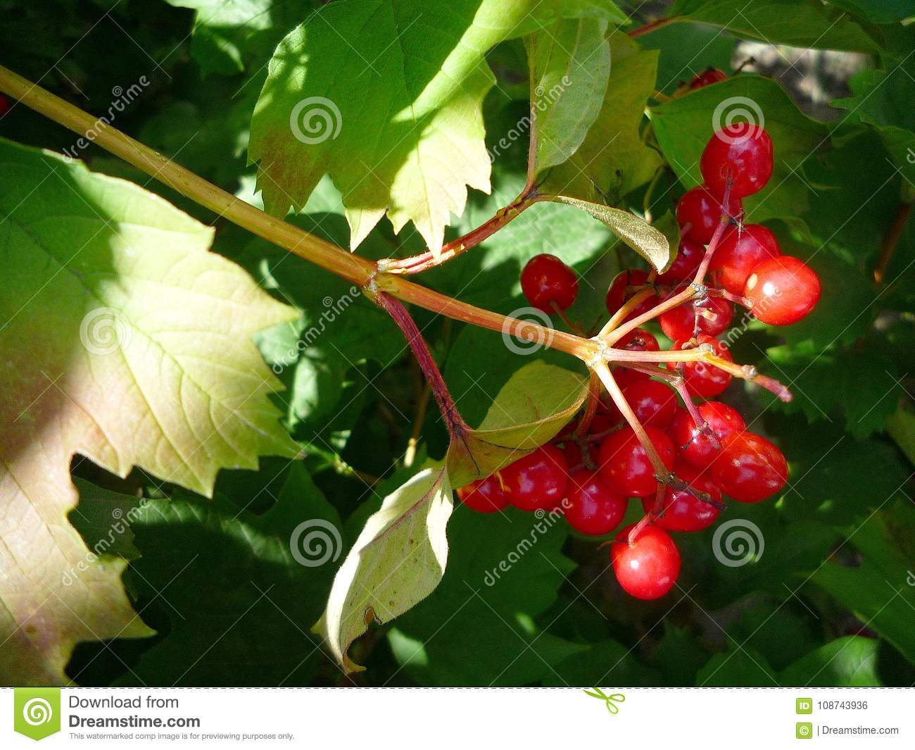 A bunch red berries on a summer day