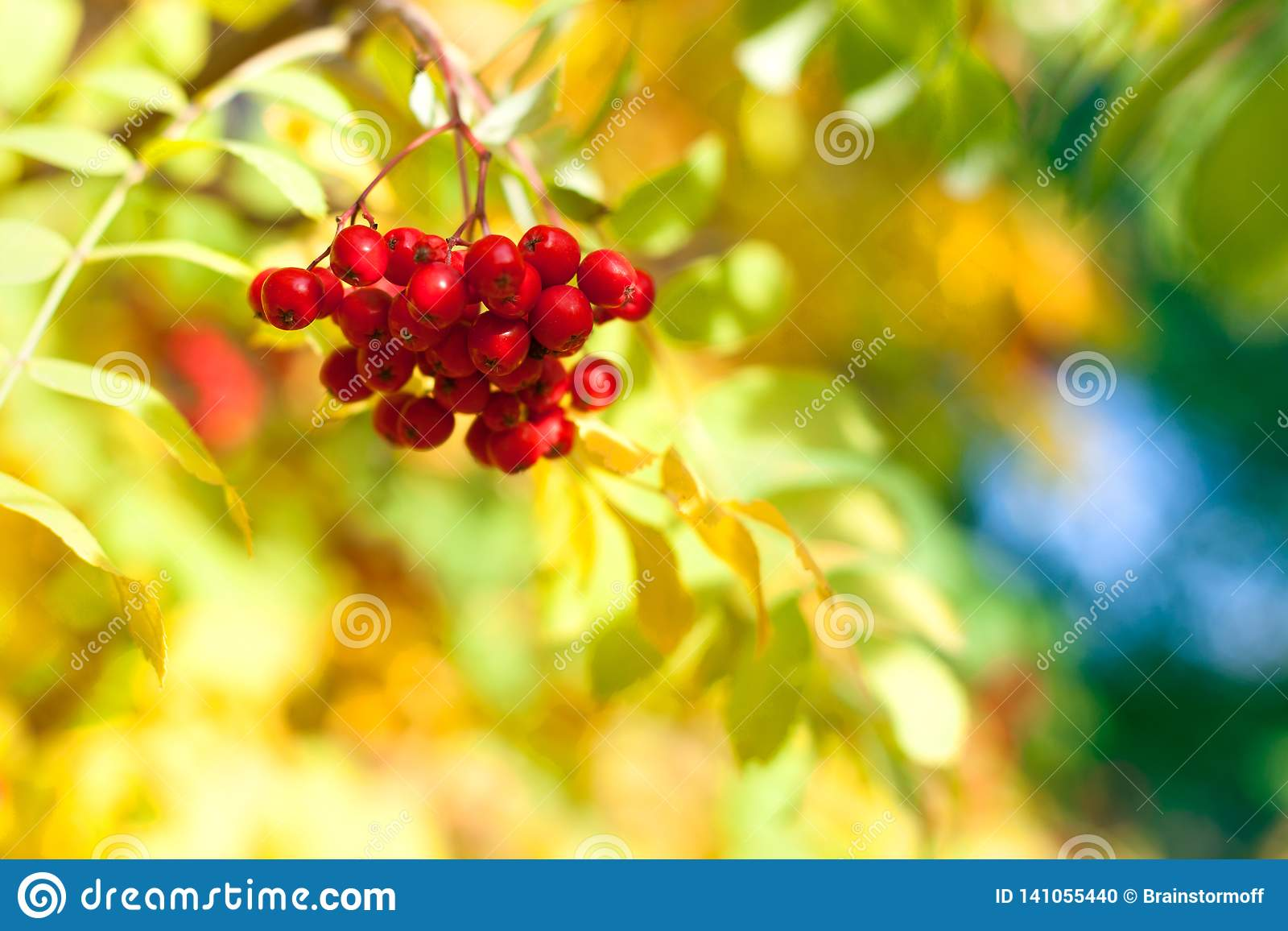 Bunch of red rowan berries on yellow, blue and green autumn leaves bokeh background closeup