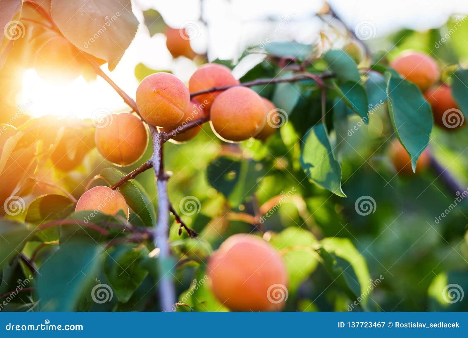Ripe apricots branch in sunshine