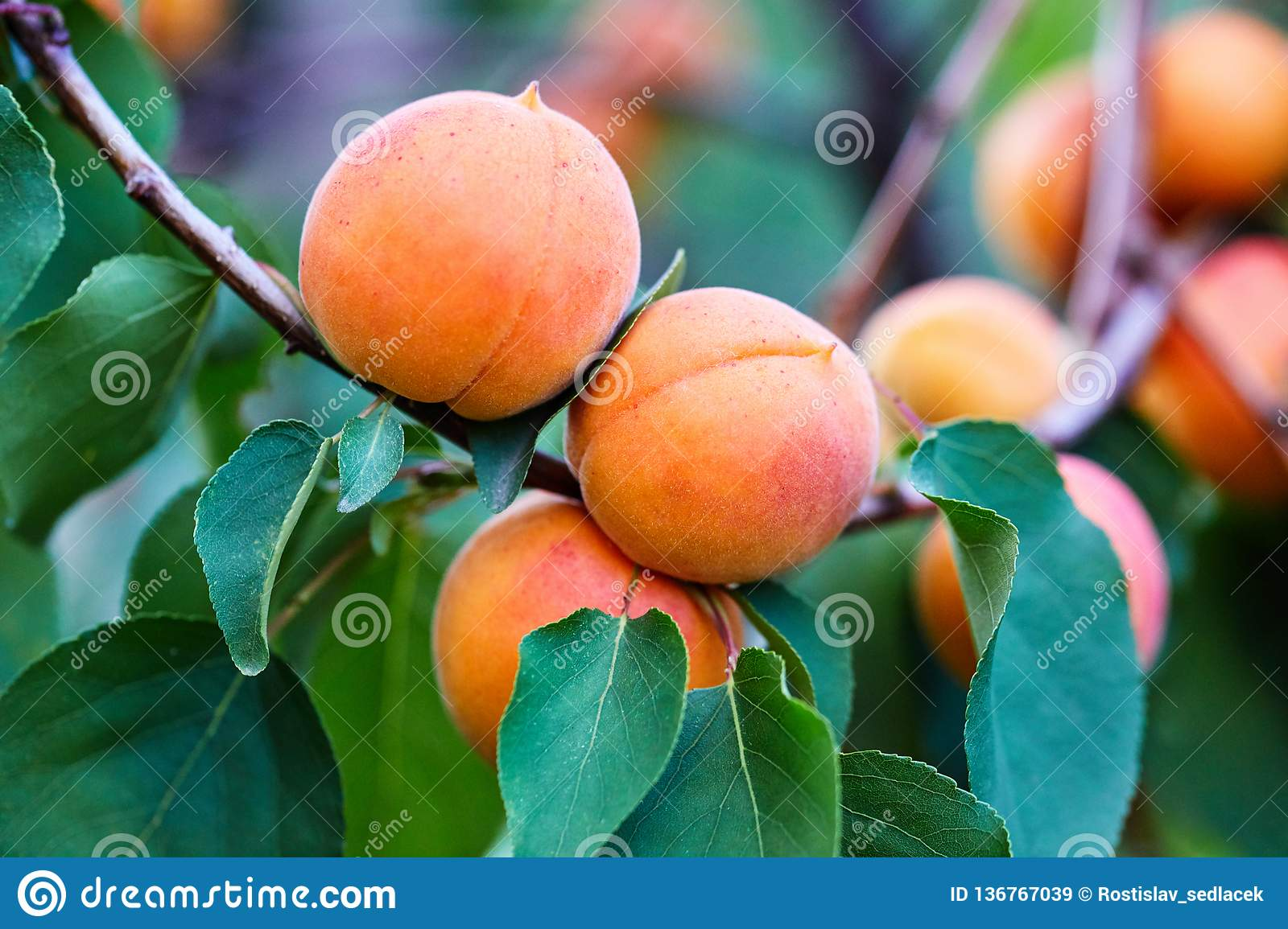 A bunch of ripe apricots branch