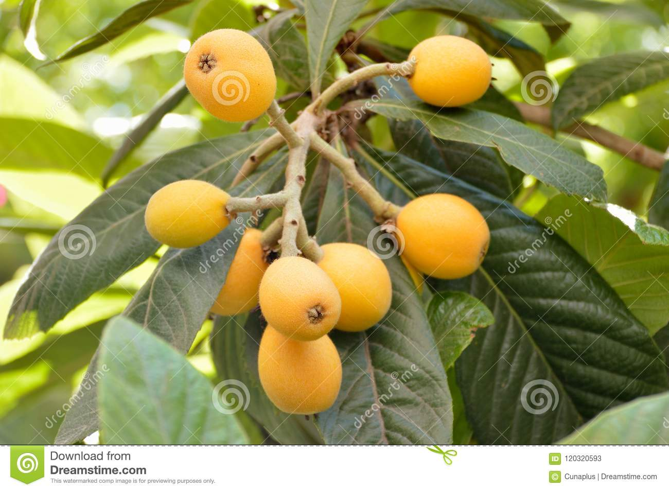 Loquat Fruit Tree Images