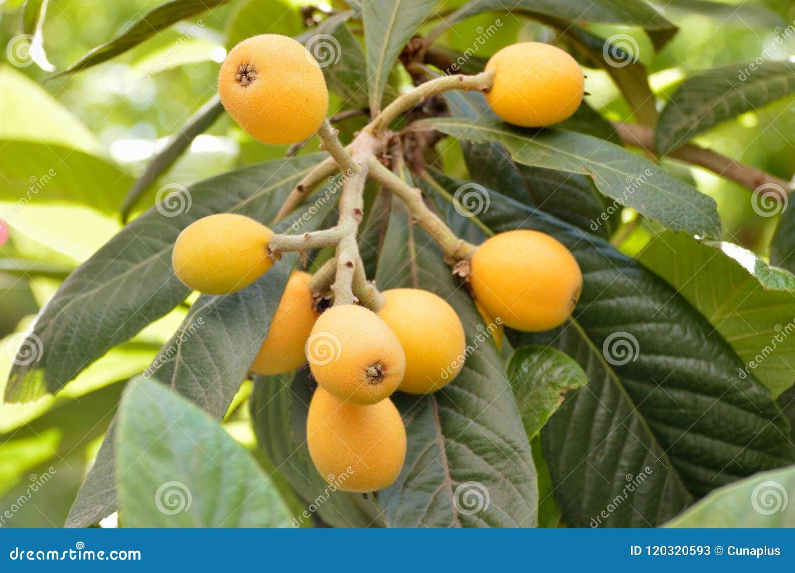 Loquat Fruit Tree Images