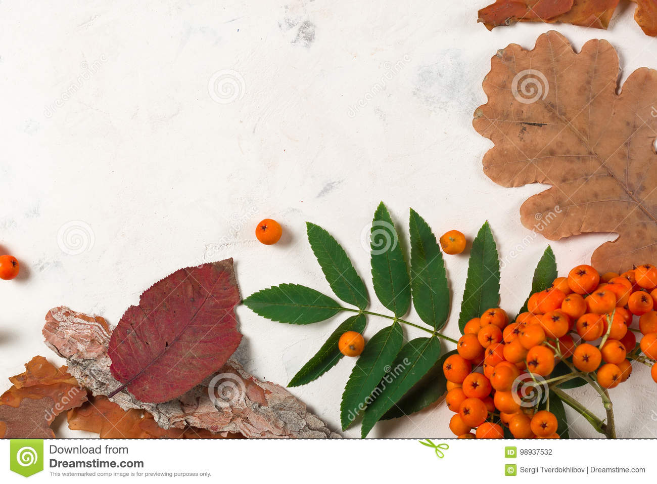 A bunch of ripe orange mountain ash with green leaves. Autumn dry leaves. Black berries. White stone or plaster