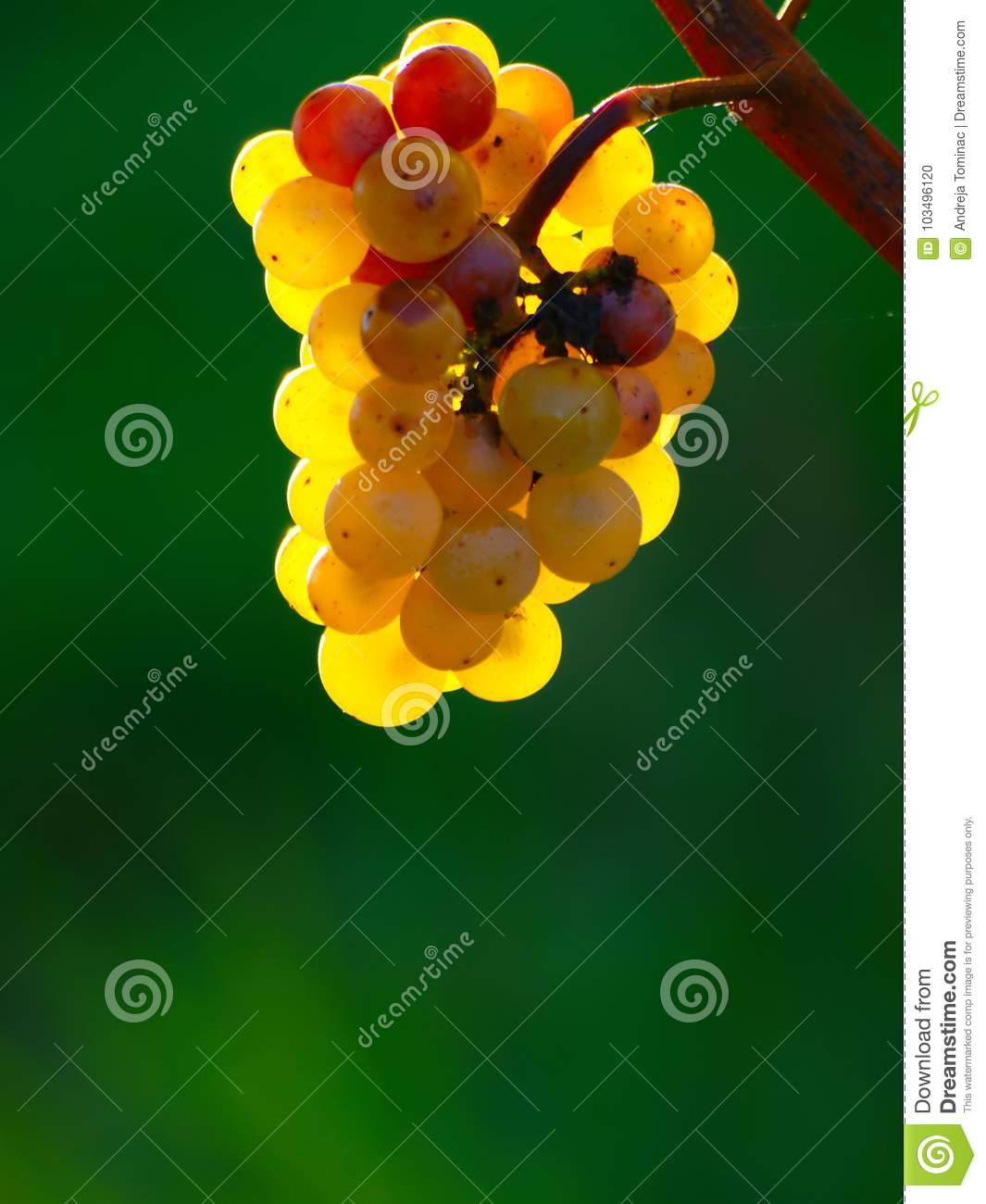 Yellow Wine Grapes