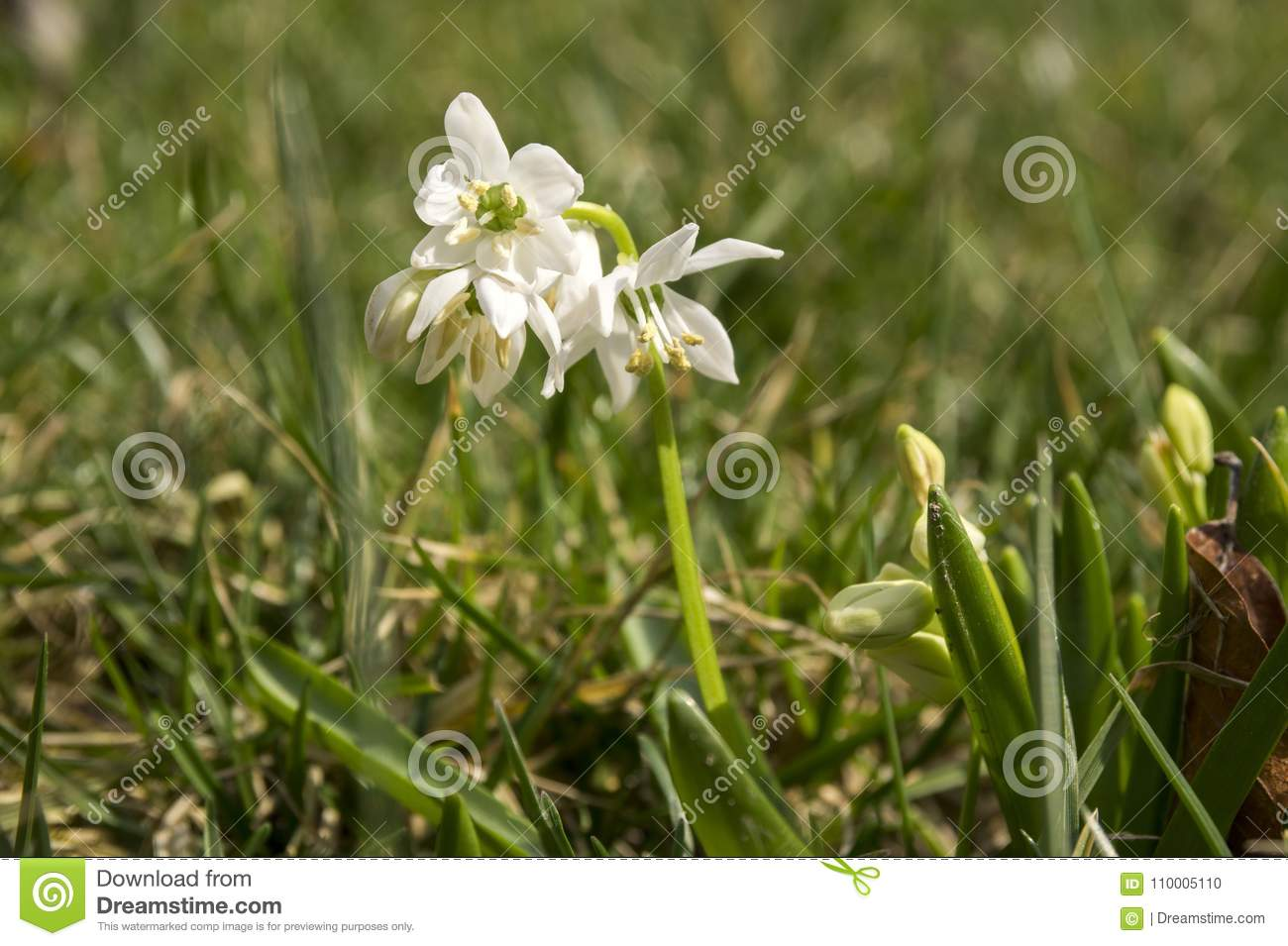 Bunch Of Scilla Siberica Early Spring White Flowers In Bloom In
