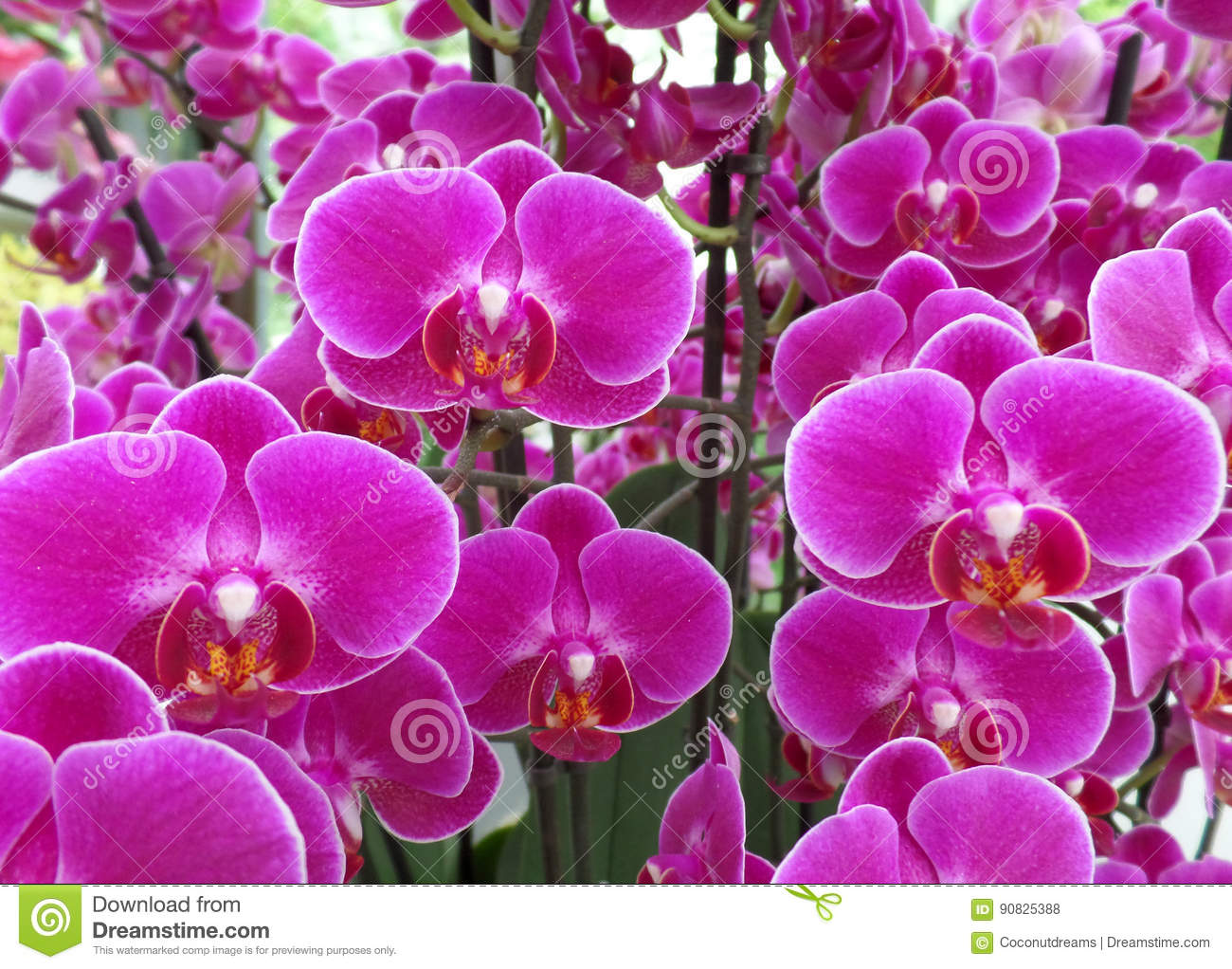 Bunch Of Shocking Pink Color Blooming Orchid Flowers Stock Photo