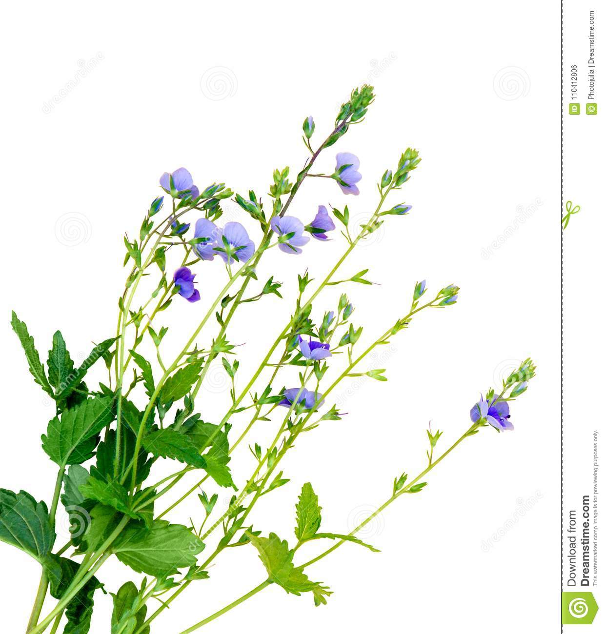 Isolated Small Purple Flowers The Name Of The Flower Is Veronic