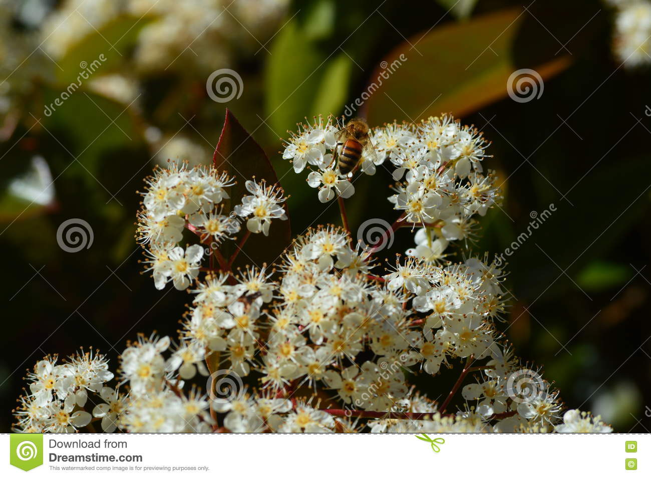 Bunch Small White Flowers With Bee Stock Image Image Of Bloom