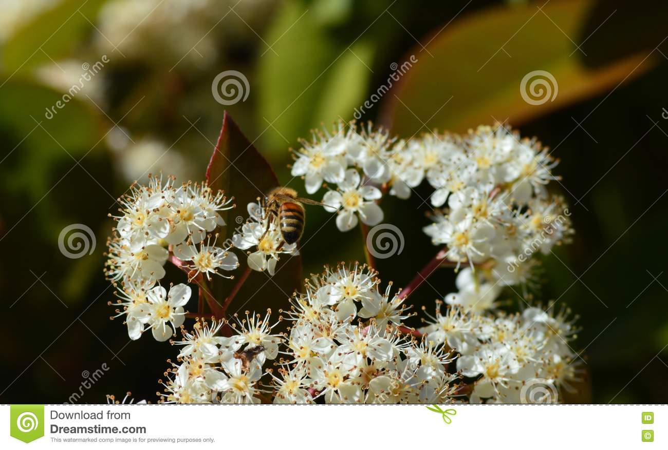 Bunch Small White Flowers With Bee Stock Image Image Of Flower