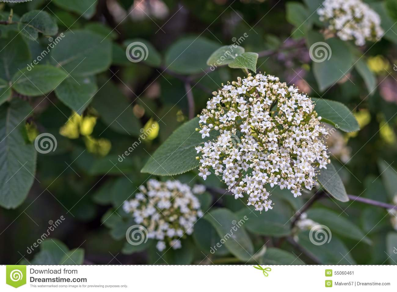 Bunch of small white flowers closeup stock image image of pure download bunch of small white flowers closeup stock image image of pure spring mightylinksfo