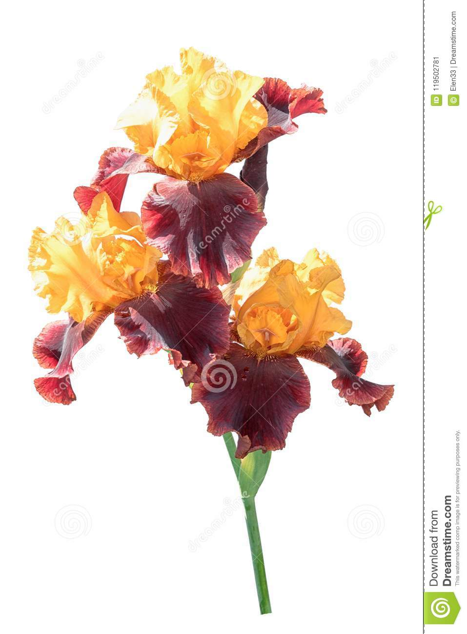 Three rare color yellow and brown iris flowers isolated stock image three rare color yellow and brown iris flowers isolated izmirmasajfo