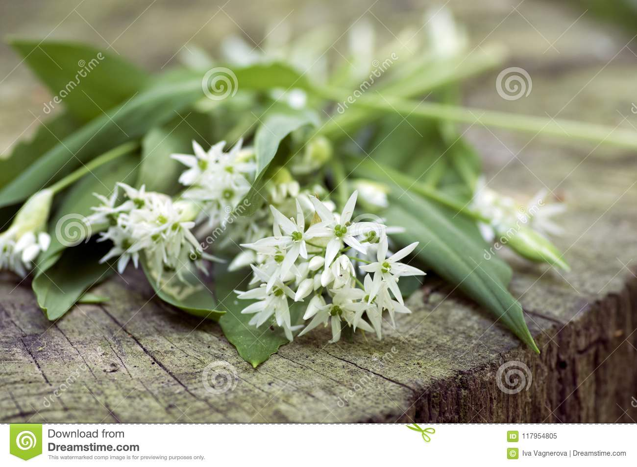 Bunch Of White Allium Ursinum Herbaceous Flowers And Leaves On