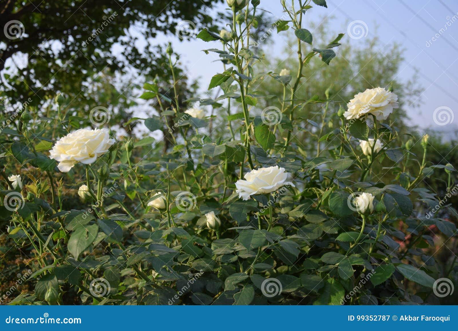 White Roses Stock Image Image Of Bushes Beautiful Himalayas
