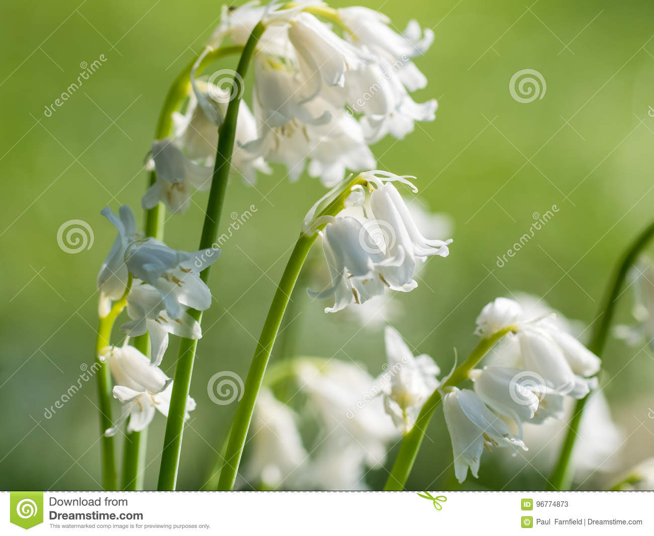 Bunch of white bluebell bluebells flowers stock image image of download bunch of white bluebell bluebells flowers stock image image of perennial closeup mightylinksfo