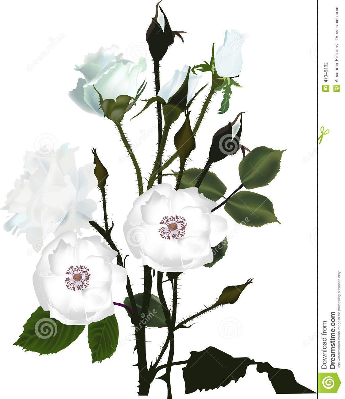Bunch Of White Brier And Rose Flowers Stock Vector - Image ...