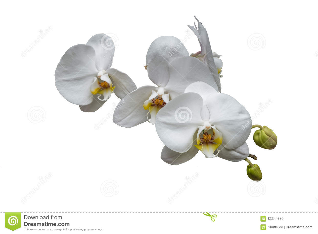 Bunch of white orchids with buds and yellow center isolated on w