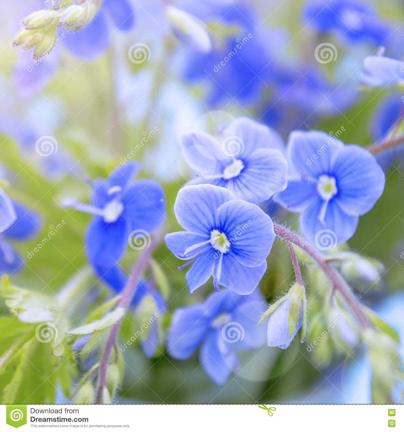 Bunch Of Wild Forest Tiny Blue Flowers On Meadow Stock Image Image