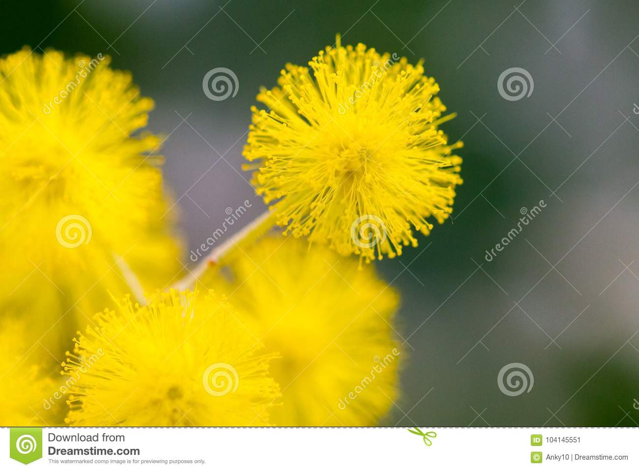 Yellow Ball Flowers Indoors Over Dark Background Stock Image Image