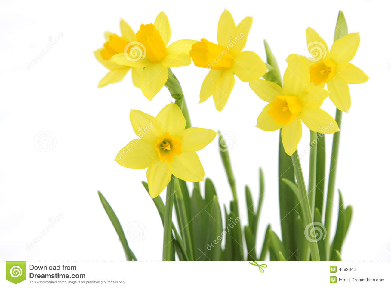 bunch of yellow spring daffodils stock photography image 4682842